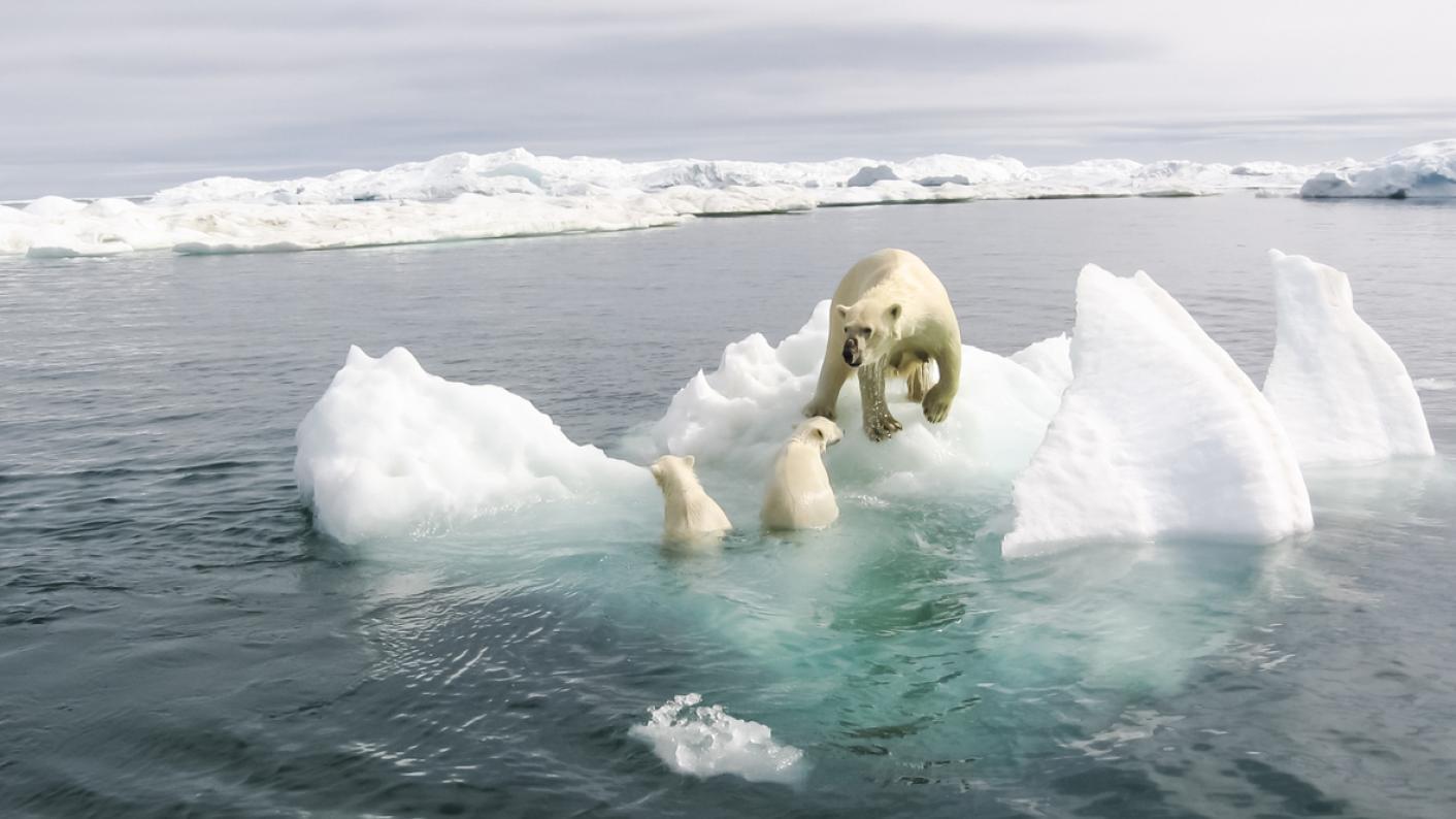 Polar bear, with cubs, on melting ice floe