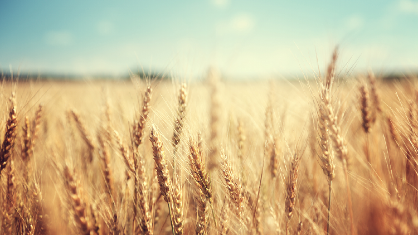 Image Of Wheat Depicting Life In The Fields For Characters In John Steinbeck's Of Mice & Men